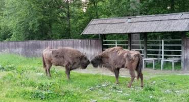 W Puszczy Boreckiej otwarto pokazową zagrodę dla żubrów