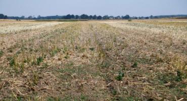 Podlaskie pola rzepaku zagrożone suszą