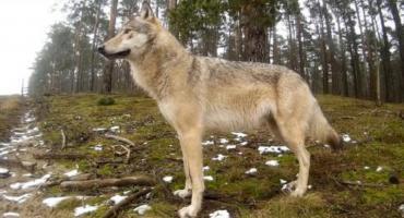 Biebrzański Park Narodowy zaprasza na Dzień Wilka
