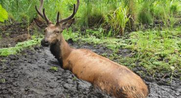 Jeleń ugrzązł w bagnie. Uratowali go leśnicy