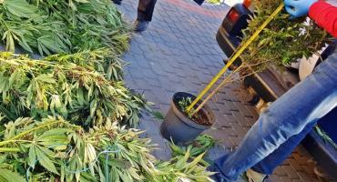 Policja przejęła prawie 23 kg marihuany. Cztery osoby usłyszały zarzuty