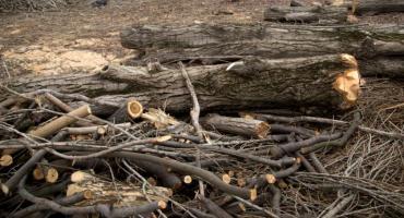 Wycinka drzew w Parku Bródnowskim