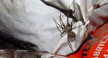 Lucek - pająk z Targówka