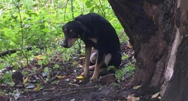 Porzucony pies nad Wisłą. Był przypięty łańcuchem do drzewa