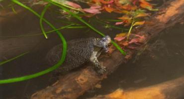Żółwie błotne z ZOO dzisiaj trafią na wolność