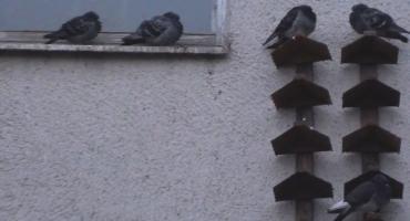 Dom Sztuki znów przyjazny dla ptaków. Gołębie mają swoje półki