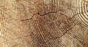 Sadul: wycięto kilkuset letni dąb