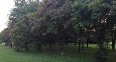 Więcej drzew na Młynowie