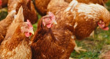 Jak zająć się kurami w gospodarstwie? Przydatne porady