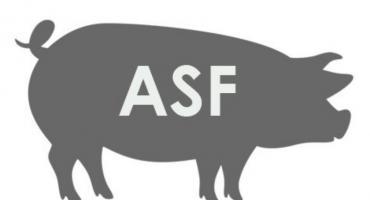 ASF już na terenie gminy Czerwińsk nad Wisłą
