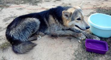 Porzucony pies z Kalenic szedł 4 dni z Sochaczewską Pielgrzymką na Jasna Górę