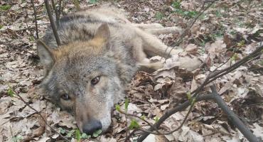 Potrącony wilk wkrótce wróci do Kampinosu