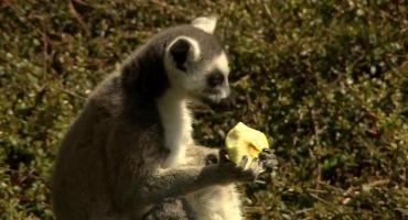 Baby boom we wrocławskim zoo. Na świat przyszły między innymi kozy i lemury