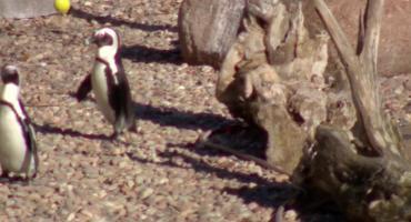 Dzień Pingwina Przylądkowego we wrocławskim zoo.