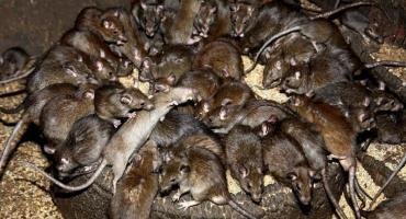 Szczury w natarciu a Warszawa udaje, że się broni
