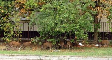 Mają wystrzelać dziki na Mazowszu