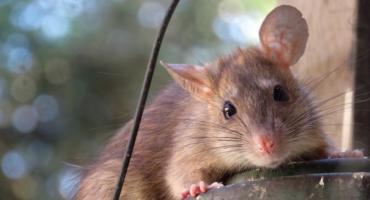 Jak pozbyć się szczurów z domu?