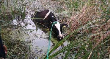 Strażacy z Ciechanowa i Glinojecka uratowali tonące krowy [zdjęcia]