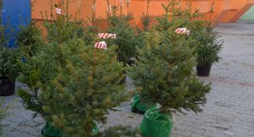 Mieszkańcy Ciechanowa otrzymają choinki za odpady