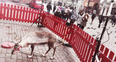 Renifer na Rynku Staromiejskim. Internauci oburzeni, jest odpowiedź organizatorów