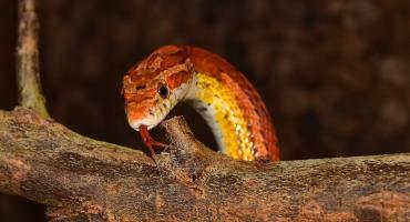 Torunianka znalazła w swoim mieszkaniu... węża z Ameryki Północnej