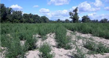 Ogromna plantacja konopi pod Toruniem. Policja ogłosiła sukces, ale sąd zwolnił oskarżonych...