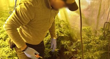 Kryminalni zlikwidowali nielegalną plantację marihuany pod Toruniem [FOTO]